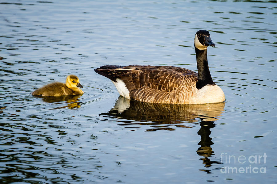 Canada Goose Photograph - Canada Goose And Gosling by Dawna  Moore Photography