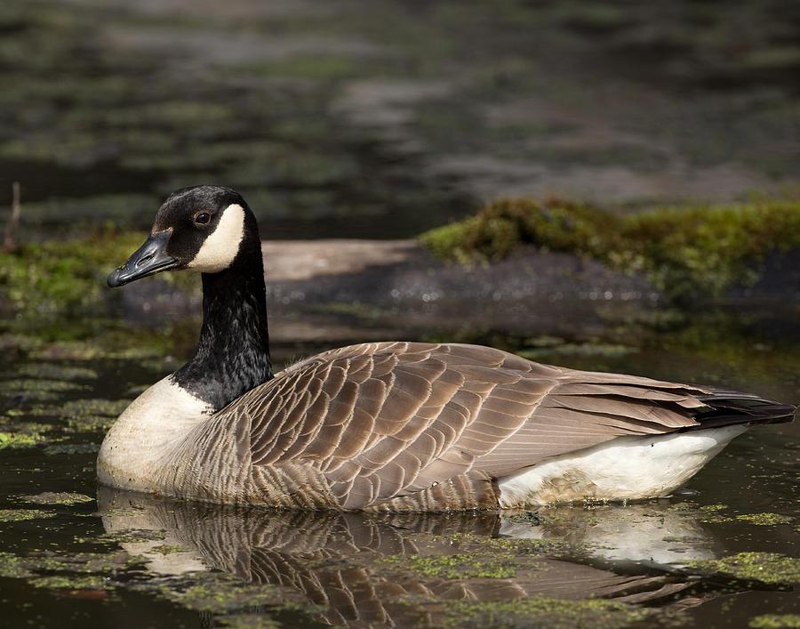 Canada Photograph - Canada Goose by Brian Magnier