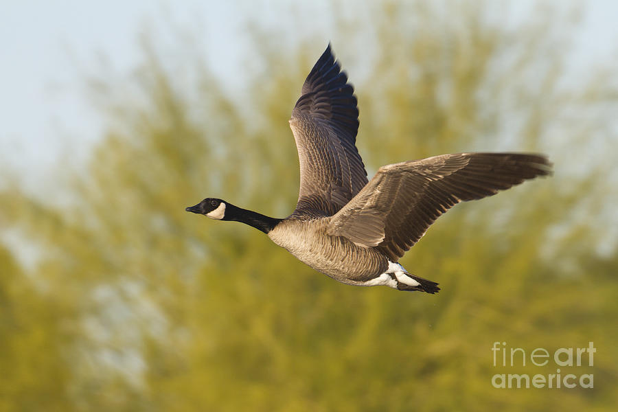 Canada Goose Flying By Photograph By Bryan Keil