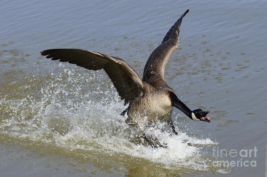 Canada Goose Photograph - Canada Goose Touchdown by Bob Christopher