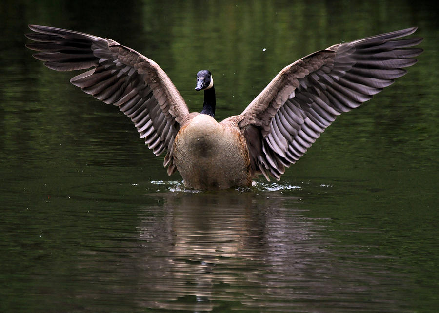 Goose Photograph - Canada Goose Wing Display - C3448d by Paul Lyndon Phillips