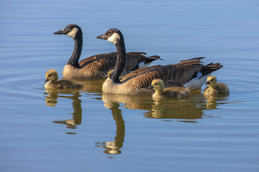 Animal Photograph - Canada Goose With Chicks by Tom Norring