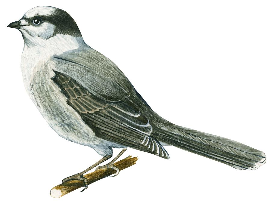 No People; Horizontal; Side View; Full Length; White Background; One Animal; Wildlife; Close Up; Illustration And Painting; Zoology; Wing; Feather; Tail; Perching; Branch; Bird; Canada Jay; Perisoreus Canadensis; Grey Drawing - Canada Jay by Anonymous