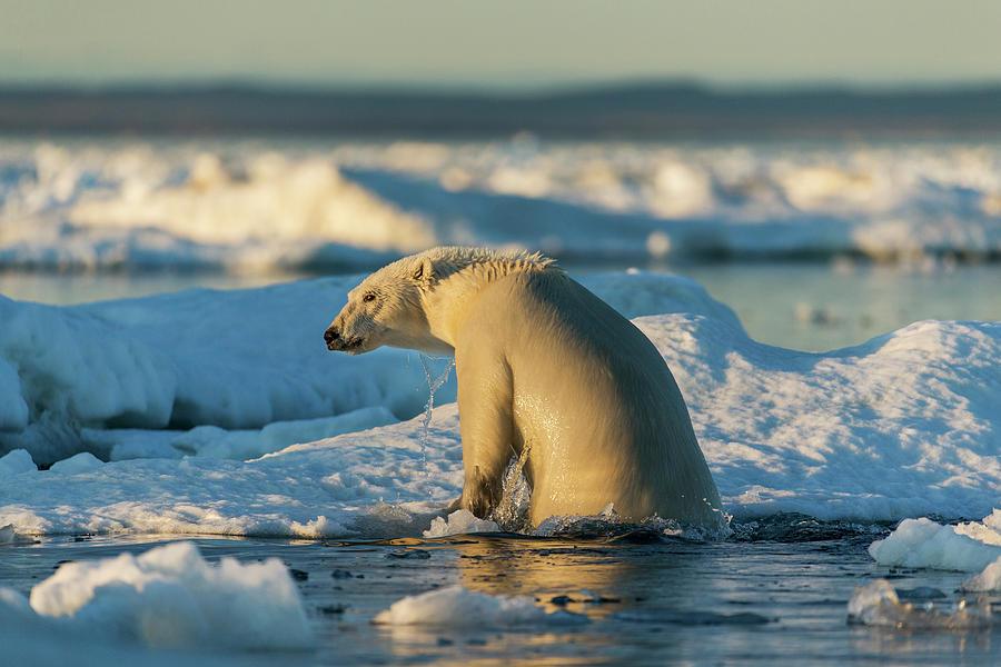 Arctic Circle Photograph - Canada, Nunavut Territory, Polar Bear by Paul Souders