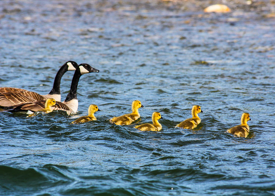 Abstract Photograph - Canadian Geese And Goslings by Omaste Witkowski