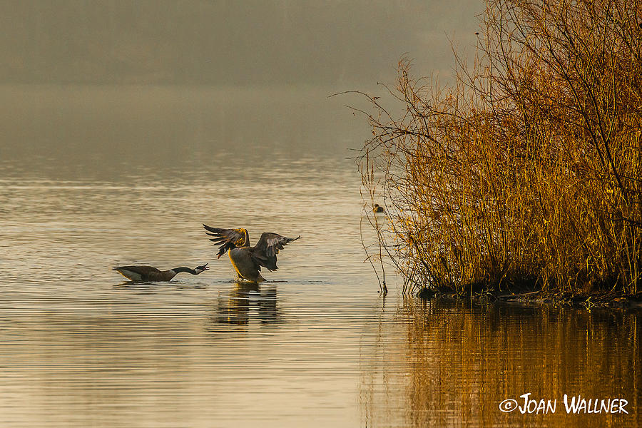 Birds Photograph - Canadian Geese in the Morning Sun by Joan Wallner