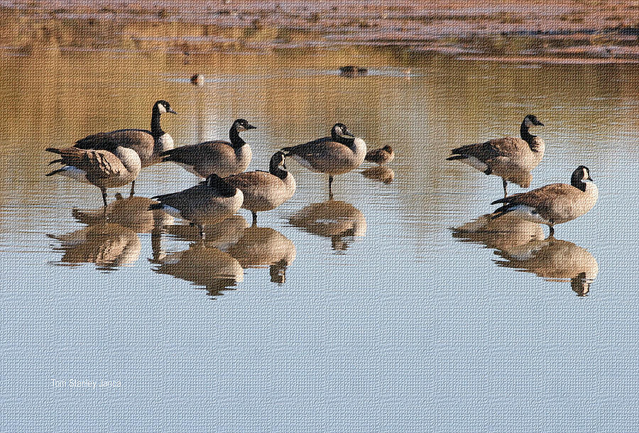 Grp Photograph - Canadian Geese Stop Over by Tom Janca