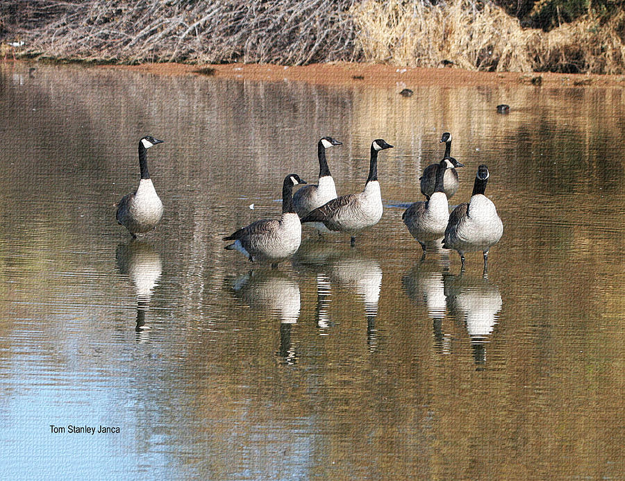 Grp Photograph - Canadian Geese Watching by Tom Janca