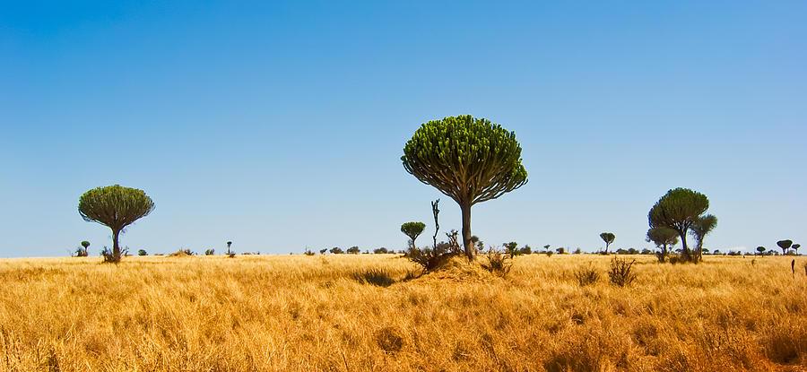 3scape Photos Photograph - Candelabra Trees by Adam Romanowicz