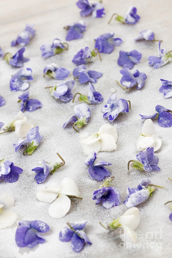 Candied Photograph - Candied Violets by Elena Elisseeva