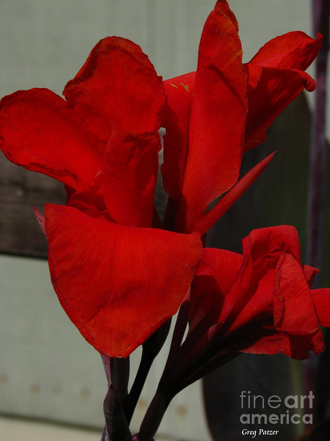 Patzer Photograph - Canna by Greg Patzer