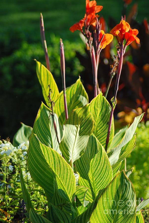 Canna Lily Photograph - Canna Lily by Optical Playground By MP Ray