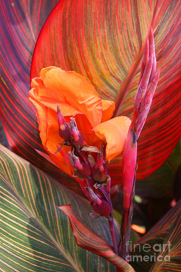 Blossom Photograph - Canna Lilys New Growth by Kenny Bosak