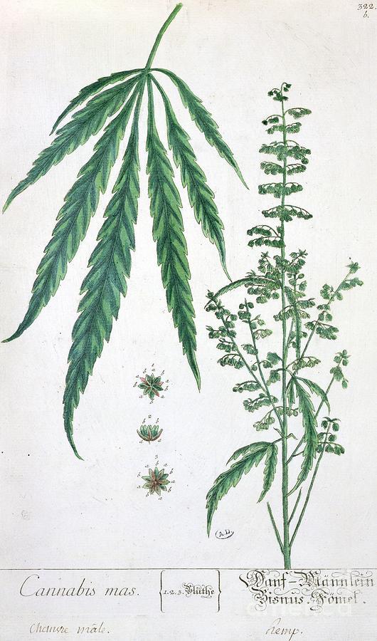 Cannabis Painting - Cannabis by Elizabeth Blackwell