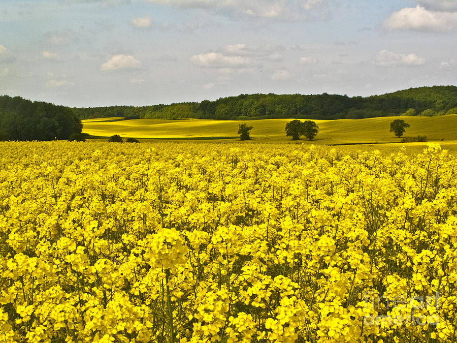 Spring Photograph - Canola Field by Heiko Koehrer-Wagner