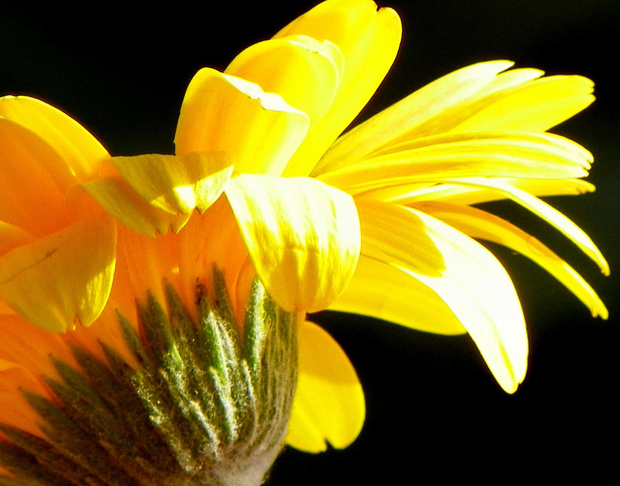 Yellow Flowers Photograph - Canopy Of Petals by Karen Wiles