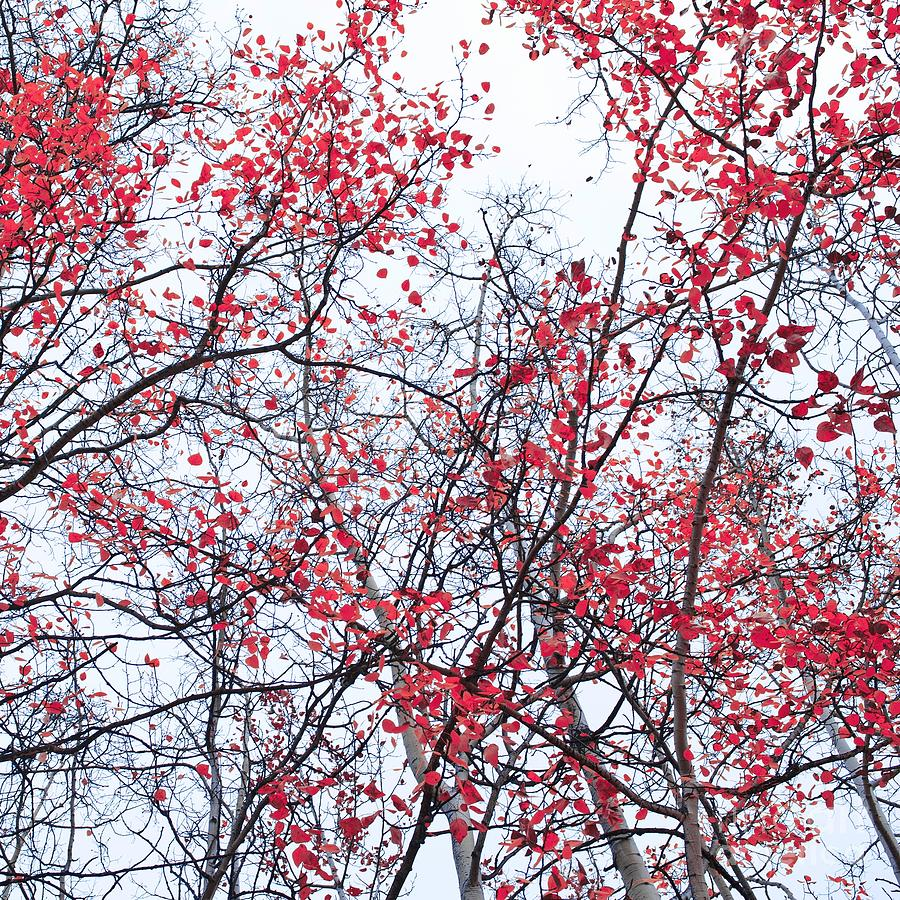 Red Photograph - Canopy Trees by Priska Wettstein