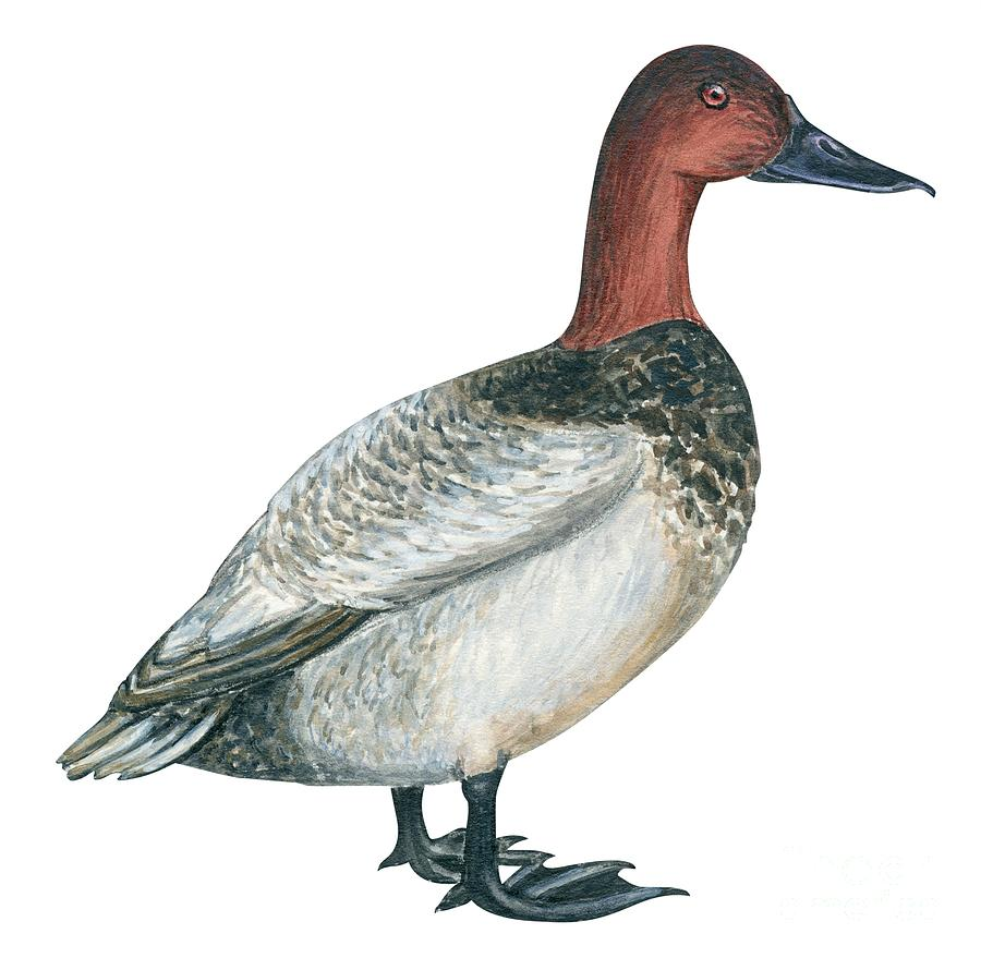 Bird Drawing - Canvasback Duck  by Anonymous