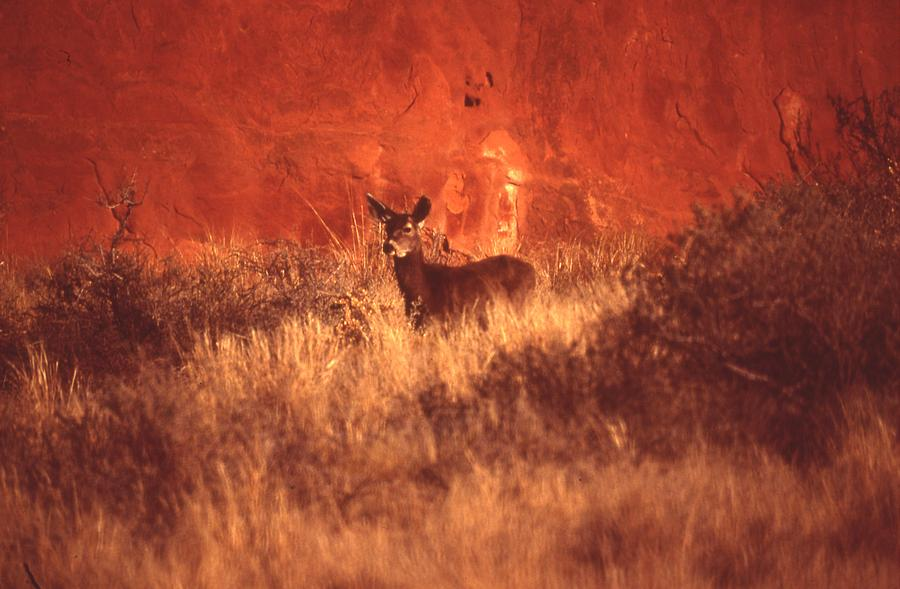 Mule Deer Photograph - Canyonland Mule Deer by T C Brown