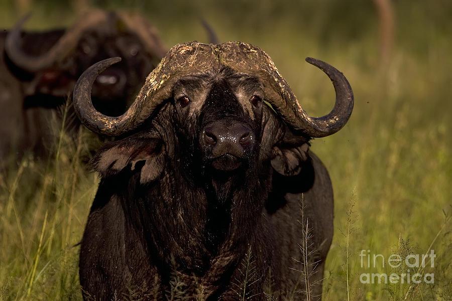 Cape Buffalo Photograph - Cape Buffalo   #6883 by J L Woody Wooden