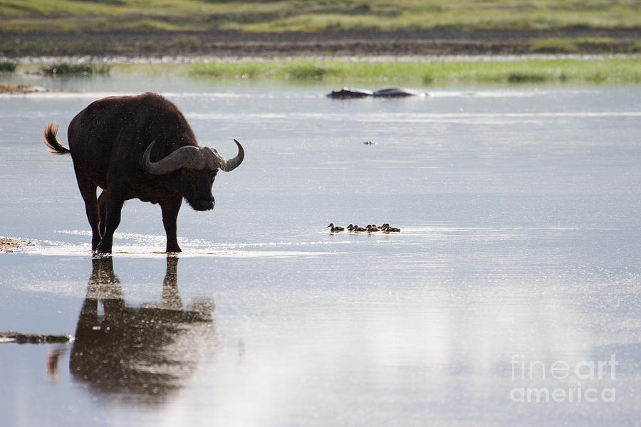 Cape Buffalo Photograph - Cape Buffalo And Baby Eygptian Geese   #0375 by J L Woody Wooden