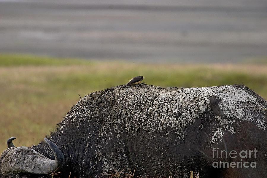 Cape Buffalo Photograph - Cape Buffalo And Bird   #9873 by J L Woody Wooden