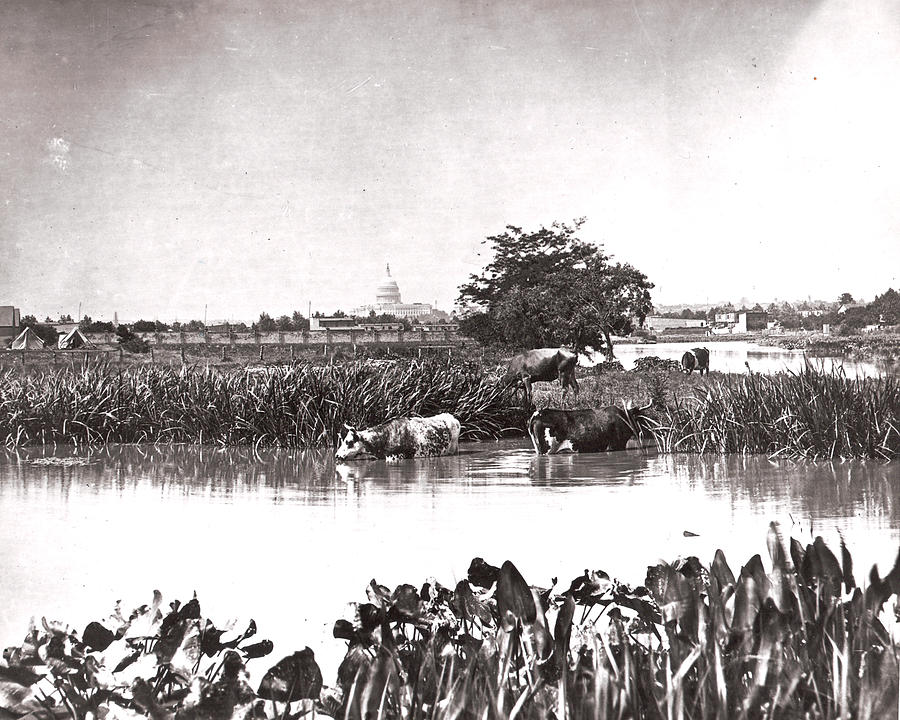 Historical Photograph - Capitol Cows by Charles Somerville
