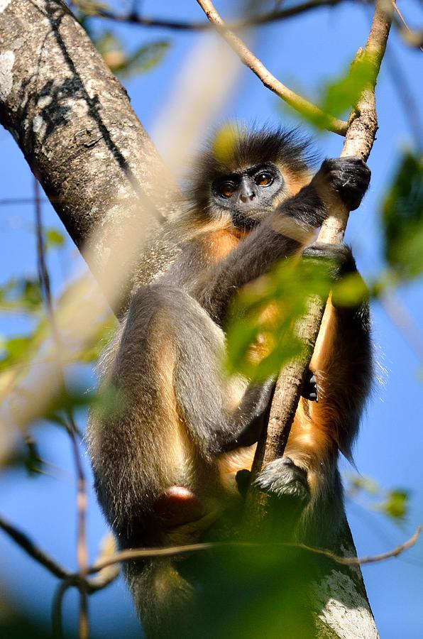 Capped Photograph - Capped Langur by Fotosas Photography