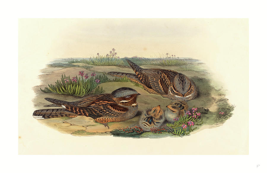 John Gould Drawing - Caprimulgus Europaeus Nightjar by John Gould (1804-1881) And Henry Constantine Richter (1821?1902), English