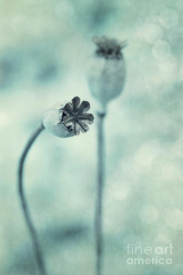 Poppy Photograph - Capsules Series by Priska Wettstein