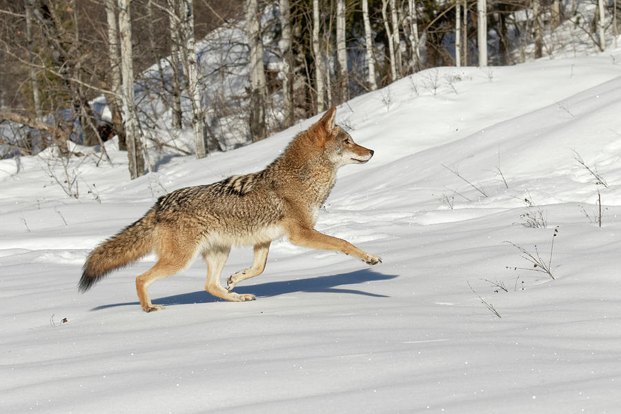 Captive Coyote Running On Snow, Montana Photograph by Adam ...  Captive Coyote ...
