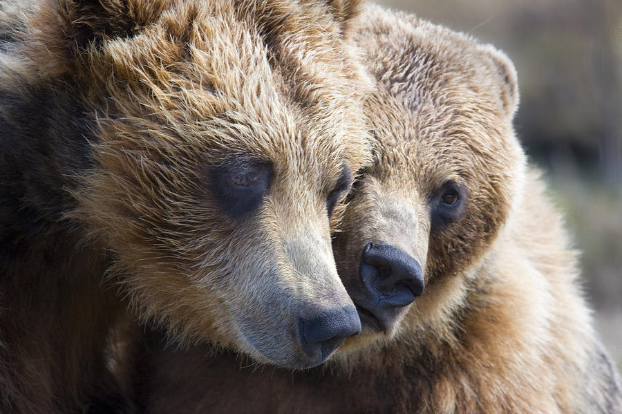 Captive Grizzly Bears Playing At The Photograph