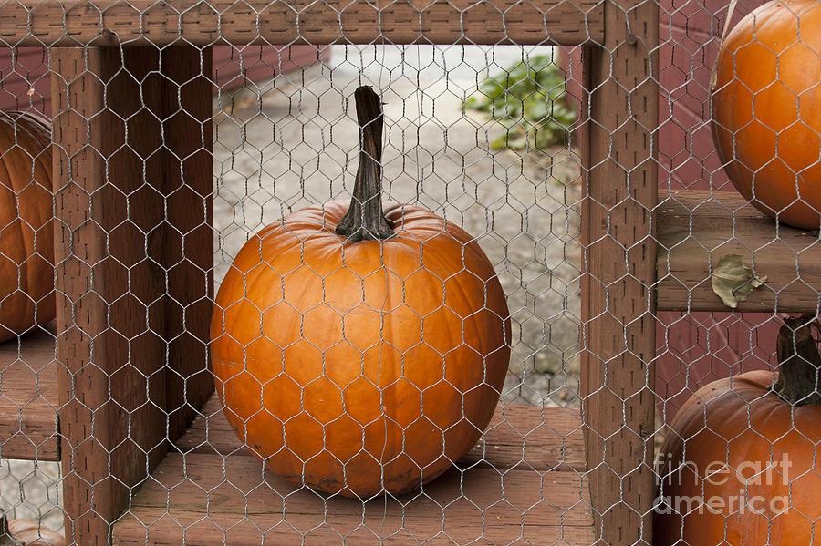 Pumpkin Photograph - Captive Pumpkins by Victoria Harrington