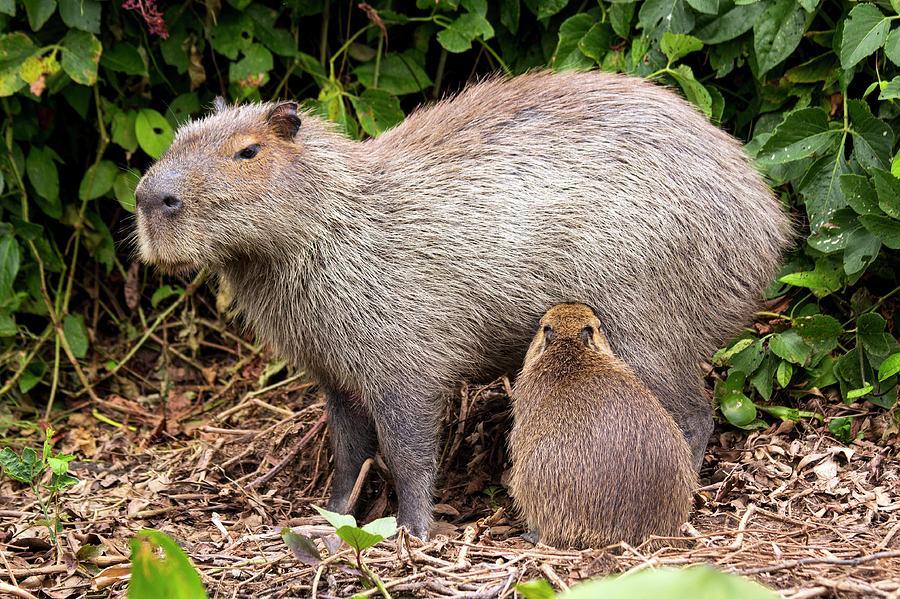 Nobody Photograph - Capybara Suckling by Paul Williams