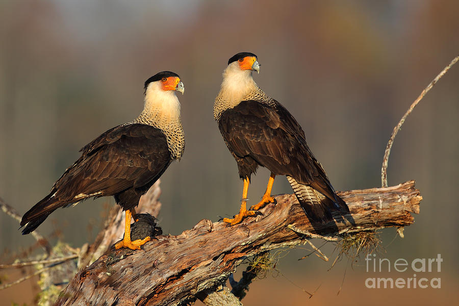 Bird Photograph - Caracaras by Rick Mann