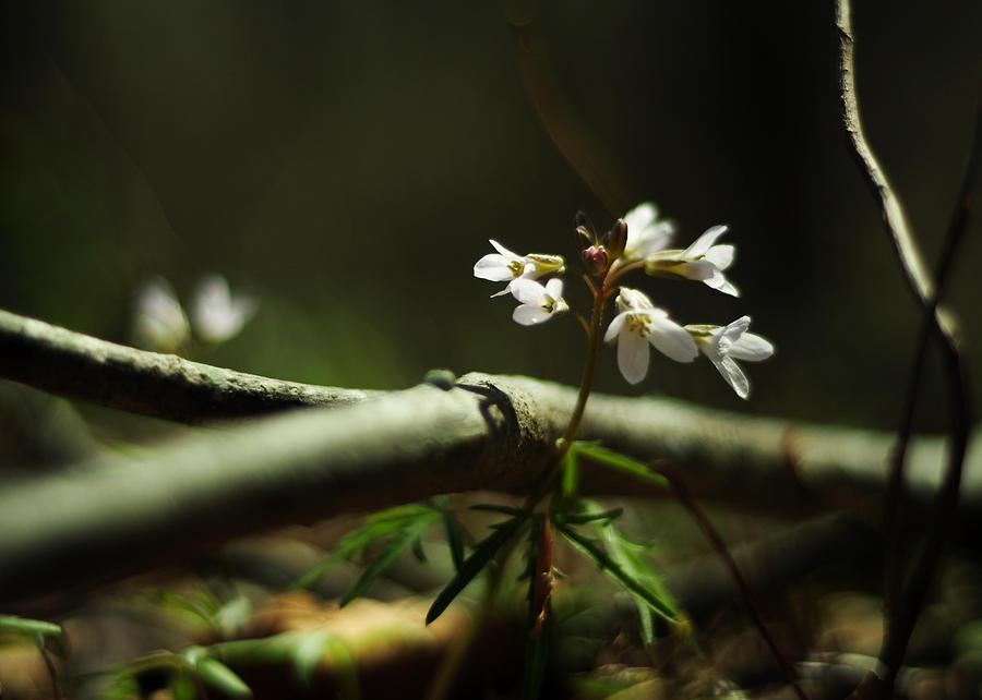 Ephemeral Photograph - Cardamine Concatenata Cutleaf Toothwort by Rebecca Sherman