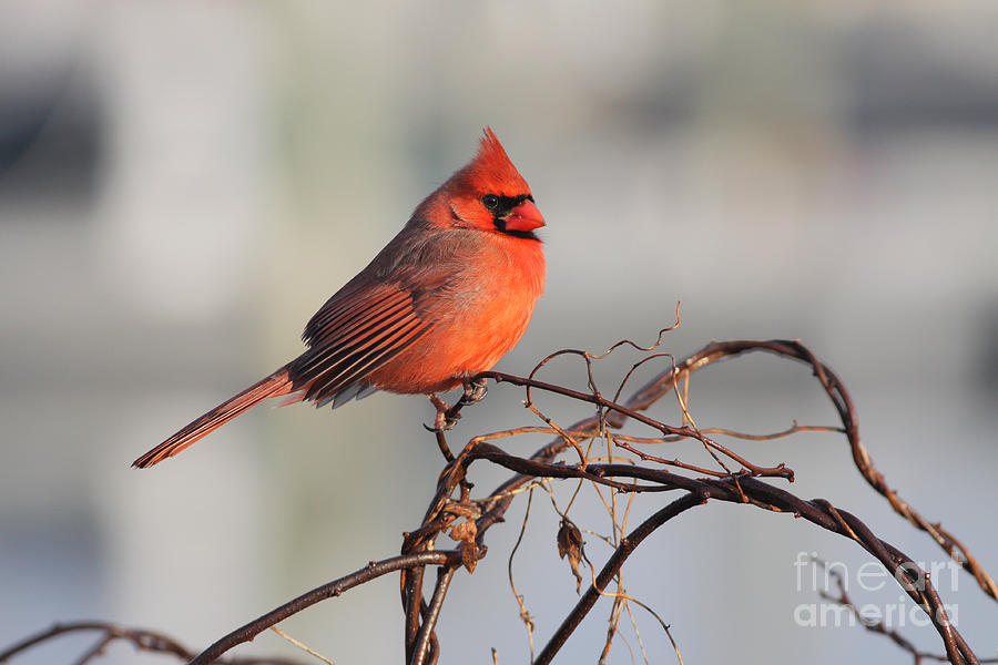 Cardinal 010913-01 by Gene  Marchand