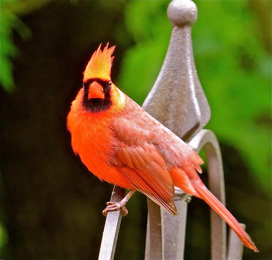 Cardinal Photograph - Cardinal 108 by Patsy Pratt