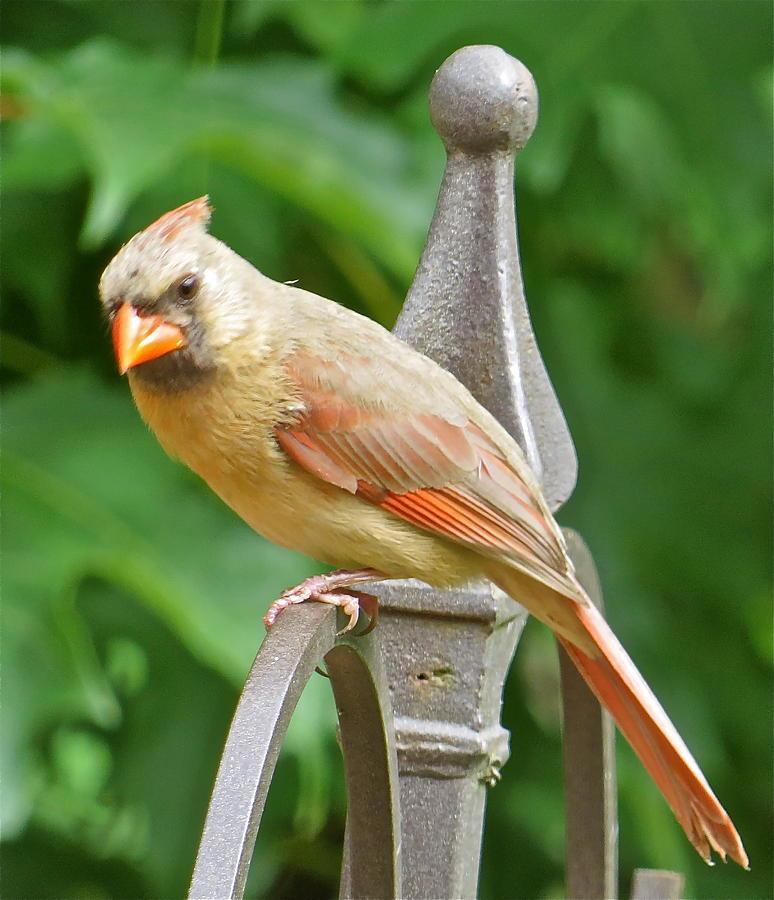 Cardinal Photograph - Cardinal 109 by Patsy Pratt