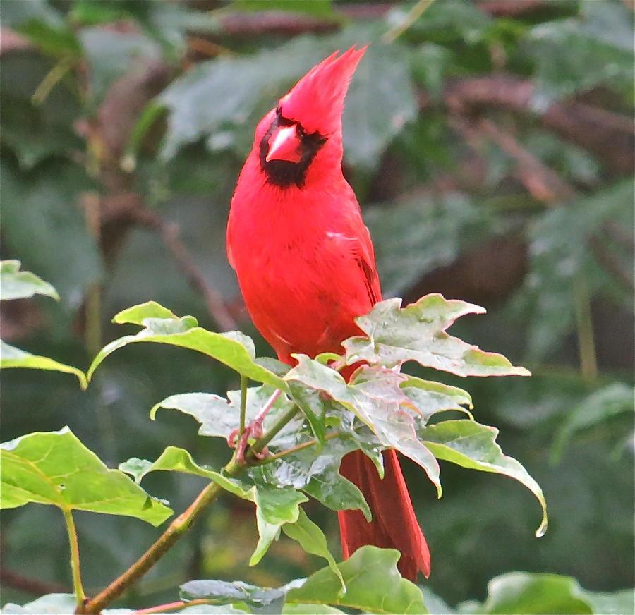 Cardinal Photograph - Cardinal 111 by Patsy Pratt