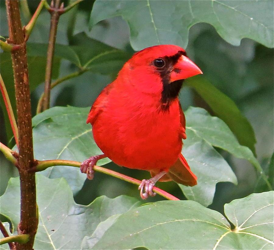 Cardinal Photograph - Cardinal 117 by Patsy Pratt