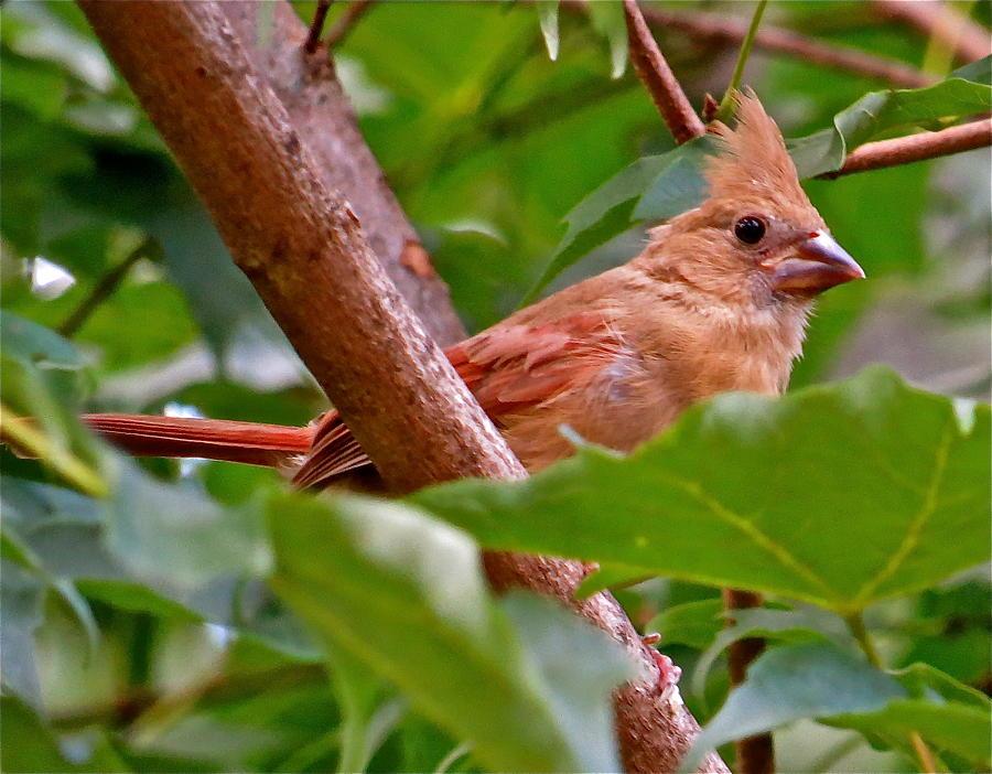 Cardinal Photograph - Cardinal 120 by Patsy Pratt