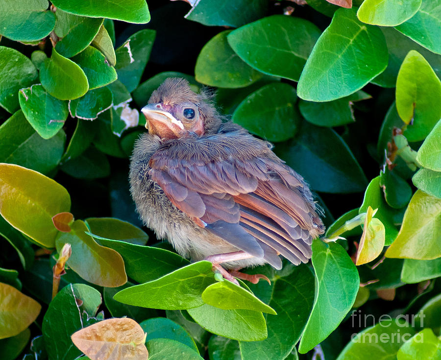 Baby Cardinal Photograph - Cardinal Chick by Stephen Whalen