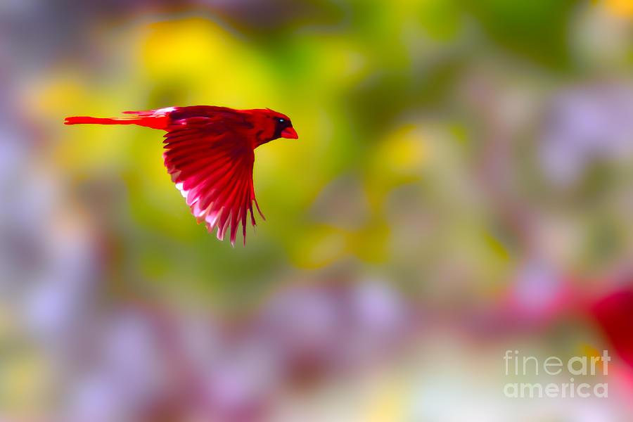 Bird Photograph - Cardinal In Flight by Dan Friend