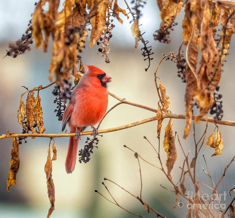 Male Cardinal Photograph - Cardinal In The Pokeberries by Kerri Farley