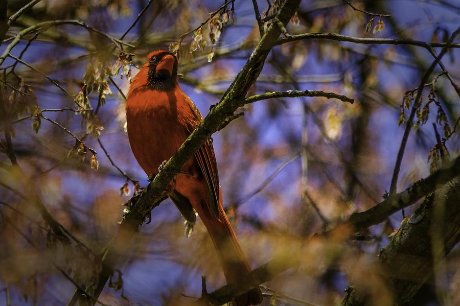 Cardinal Photograph - Cardinal In Waiting by Barry Jones