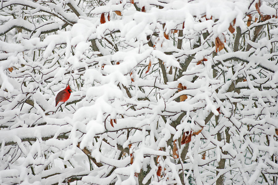 Bird Photograph - Cardinal in White by Ty Helbach