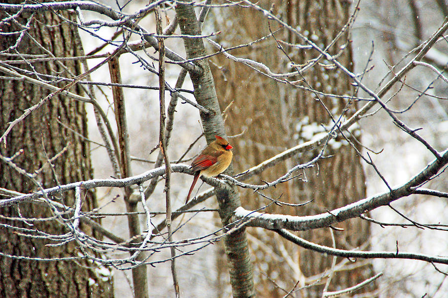 Bird Photograph - Cardinal In Winter by Aimee L Maher Photography and Art Visit ALMGallerydotcom