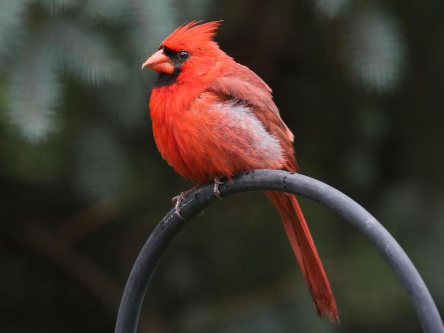 Cardinals Photograph - Cardinal by John Kunze