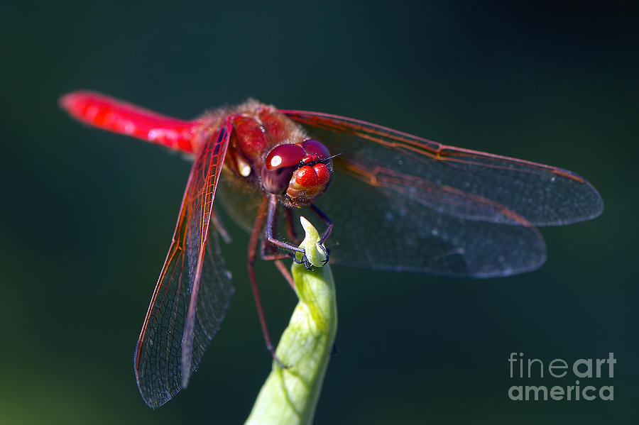 Red Dragonfly Photograph - Cardinal Meadowhawk Dragonfly by Sharon Talson